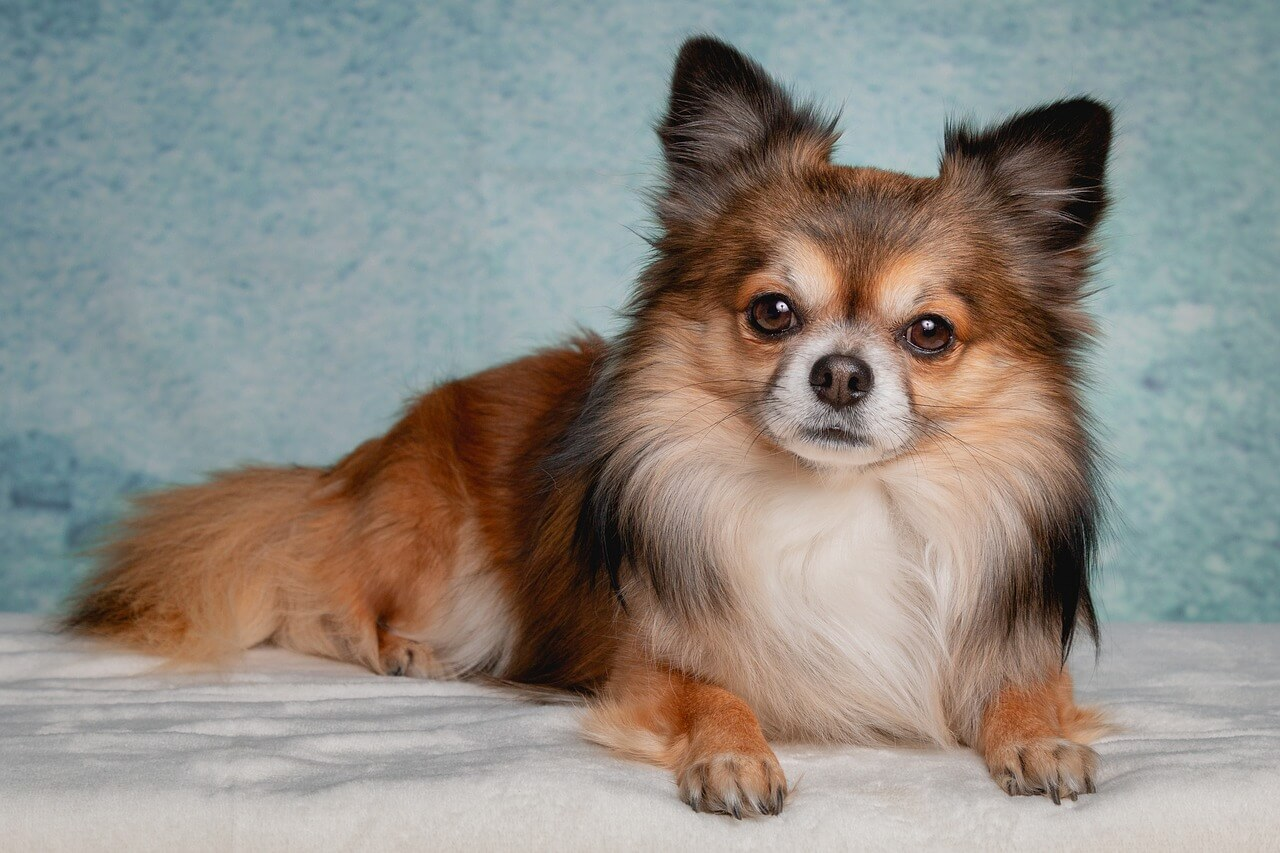 Chihuahua - healthiest dog breeds